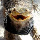 Zenlsh - Bearded Dragon Care   Terrarium   Enclosure Habitat Pinterest Account