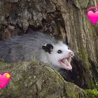 possum Pinterest Account
