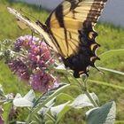 Madam Butterfly's Pinterest Account Avatar