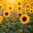 🌻 Sunflower Gal 🌻 instagram Account