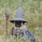 pug life instagram Account