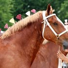 Horse-Breed Pinterest Account