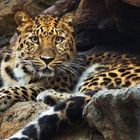 Amur Leopard Pinterest Account