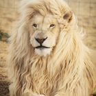 LION BLOG Pinterest Account