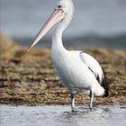 pelican Pinterest Account