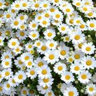 daisy Pinterest Account