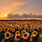sunflowers_at_sunset
