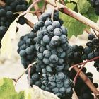 Madeira Wine Pinterest Profile Picture