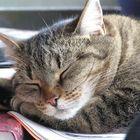 Nordi Cat Pinterest Account
