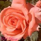 Wild Rose Pinterest Account