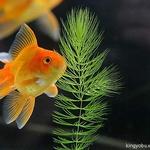 Red Cap Oranda Goldfish Goldfish Aquarium Pet Fish Oranda Goldfish