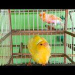 تزاوج طيور الحب Youtube Canarios Cantando