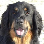 Jaxin Adopted Dog Toronto Gta On Bernese Mountain Dog Bernese Mountain Dog Mountain Dogs