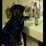 His Favorite Spot Pets Rottweiler Animals