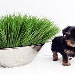 Dash Beautiful Maltese Puppies Puppy Starter Kit Teacup