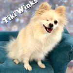 Recycled Pomeranians And Schipperkes Rescue Recycledpoms On Pinterest