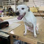 Adopt Natika On Alaskan Malamute Malamute Dog Husky Rescue