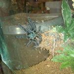 Avicularia Versicolor Martinique Pinktoe Sling Spider Animals