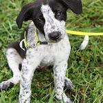 Adopt Roscoe On Petfinder Pointer Puppies English Pointer Puppy