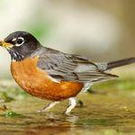 14470bdef286e Robin