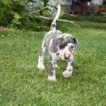 Meet Willow A Petfinder Adoptable Great Dane Dog Jupiter Fl