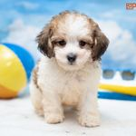 Petland Florida Has Pomeranian Puppies For Sale Check Out All Our Available Puppies Pomeranian P Puppy Friends Pomeranian Puppy For Sale Pomeranian Puppy