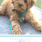 Red Mini Goldendoodles Goldendoodle Bernedoodle Puppy Dog Lovers