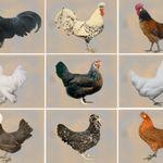 Hühner Stempel « Eier Von Glücklichen Hühnern 01 » Herz Henne Hühner Huhn Ei Hühnerhof GroßEr Ausverkauf Stempel