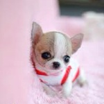 Chihuahua In Hamilton Receives Title For Smallest Dog Model Chihuahua Puppies Puppies Dog Modeling