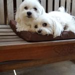 Maltese Cute Baby Animals Cute Animals Baby Animals