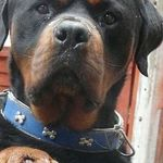 More About The Rottweiler Pup Temperament Rottweilermom