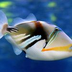 Regal Angelfish Yellow Belly Saltwater Fish Angelfish Large Angel Fish Soft Corals Blue Decor