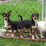 Murrey Is An Adoptable Chihuahua Dog In Surrey Bc Hello And Warm
