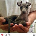 Min Pin 3 Miniature Doberman Pinscher Dogs