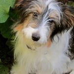 Adopt Marilyn On Petfinder Sheltie Dogs Shetland Sheepdog Beagle Mix