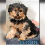 Bichon Malteser Mix Twinkie 1jahr Mischlingshunde Hunde Mischling