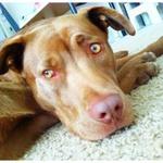 Portia Petsmart Buddy Adoption Is An Adoptable Chihuahua Dog In