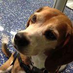Pin By Sean E On Service Beagles Beagle Dogs