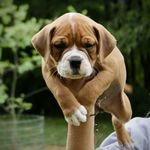 Ap Feeder On The Puppy Playground Continental Bulldog Welpen Hunde