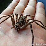セレブの気品がある蜘蛛 オオシロカネグモ 画像あり 蜘蛛 目