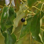 Cinnamomum Zeylanicum Zimtbaum Ceylon Zimt Pflanzen Pflanzenwelt Kubelpflanzen