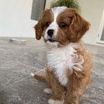 Missingdog Maltesexshitzu Reward Sthelenspark Campbelltown