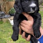 Working Cocker Spaniel Puppies For Sale Tonbridge Kent Pets4homes In 2020 Spaniel Puppies Working Cocker Cocker Spaniel Puppies