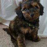 Teacup Papillon Poodle Mix Cute Dogs Poodle Mix Little Dogs