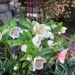 私の庭 私の暮らし クリスマスローズのオープンガーデン 東京 菊池邸 庭 低木 常緑 日陰で育つ植物