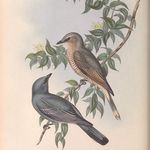 Dove Wall Decor Ornithology Print Carunculated Ground Dove Original 1835 Hand Colored Engraving Jardine Naturalist/'s Library Print