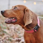 Yanceyville Nc F Redbone Mix Named Bee Animal Protection Society Of Caswell County Https Www Petfinder Com Redbone Coonhound Coonhound Animal Protection
