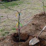Image result for فاصله کاشت درخت بادام