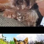 Heaven Sent Biewers Biewer Terrier Puppies Terrier Puppies Puppies Terrier