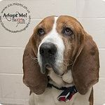 Beau Is An Adoptable Senior Basset Hound With Bags Basset Rescue